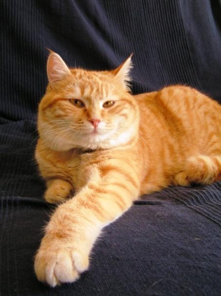 Tibert pose, sur un canapé de la gamme IKEA